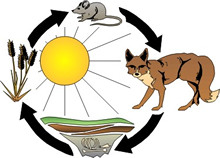 A food chain with plant, rodent, coyote, and decomposers